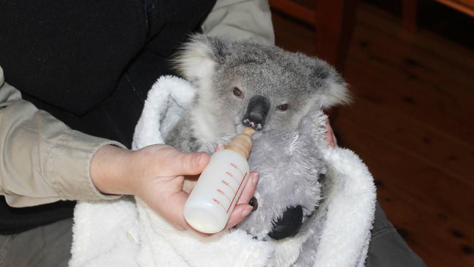 how to call koala baby